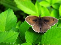young leafs Butterflies Flowers Pictures | Wildflowers Pictures