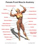 Female Muscle Anatomy Front