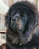 coming from extremely cold weathers mimo bull mastiff tibetan mastiff
