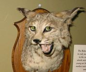 Sassy Cat and The Dangers of Discount Taxidermy :