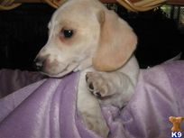 Cream pie Beauties  A Dachshund pup for sale located in RIVERSIDE, CA