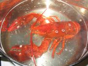 How to Cook Live Lobster and Lobster Tails StepbyStep