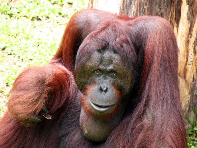 Sandra Orangutan