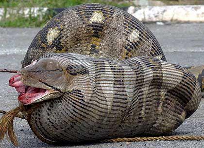 She Likes Huge Big Pythons
