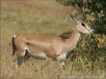 Grant's Gazelle Photos, Grant's Gazelle Images | NaturePhotoCZ