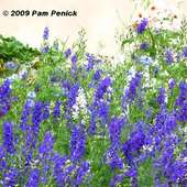 Beautiful Blues! More Larkspur