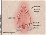 Bartholin Gland � Pictures, Location, Problems, Abscess and