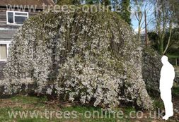 Yoshino Weeping Cherry Tree (Prunus x yedoensis `Shidareyoshino