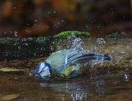 WP30861 Blue Tit ( Parus caeruleus ) bathing. Europe including Britain