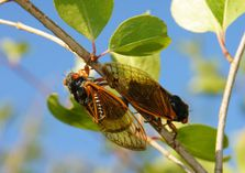 Over and under also works for Cicadas. (Kevin Ambrose)