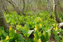 Skunk Cabbage | Yam Bird: small things found