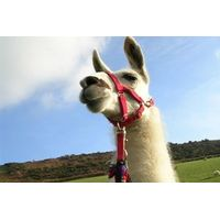Llama Trekking with Cream Tea for One
