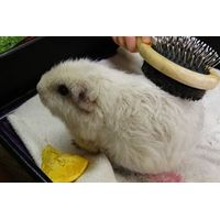 Guinea Pig Groomer Mini Experience for One Child