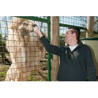 Feed Big Cats by Hand Experience