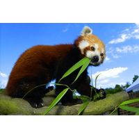 Adopt a Red Panda including Tickets to Paradise Wildlife Park
