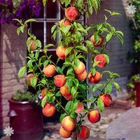 Leaf-Curl Resistant Peach 'Avalon Pride' fruit tree bare root