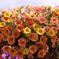 Petunia 'Indian Summer Apricot Shades' x 12 plugs