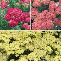 Achillea Summer Fruits collection x 6