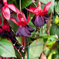 Climbing Fuchsia 'Lady in Black' x 3 garden ready plants