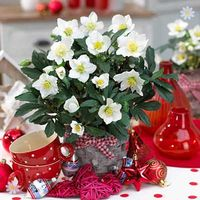 Christmas Rose plants (Helleborus niger) - set of 3 in 1L pots