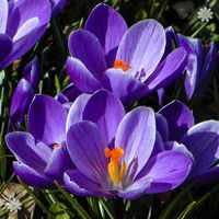 Crocus Large flowered Blue Size:7+ pack of 20 bulbs