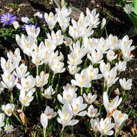 Crocus 'Large flowered White' Size:7+ pack of 20 bulbs