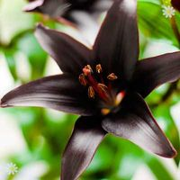 Lily Landini black bulbs - pack x 5