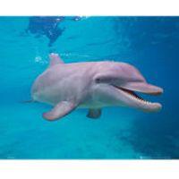 Dolphin Underwater - Mini Poster - 40 x 50cm