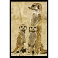 Meerkats - Maxi Poster - 61 x 91.5cm