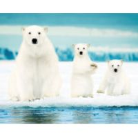 Polar Bears Family - Mini Poster - 40 x 50cm