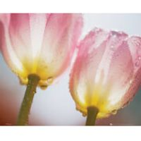 Tulips Dew - Mini Poster - 40 x 50cm