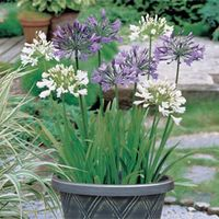 Agapanthus Blue & White Collection - 6 bare root agapanthus plants (3 of each variety)