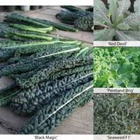 All Season Long Kale Mix - 1 packet (60 kale seeds)