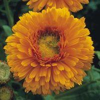 Calendula officinalis Greenheart Orange - 1 packet (80 calendula seeds)