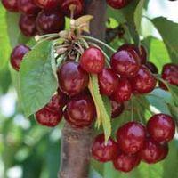 Cherry Stella - 1 bare root cherry tree