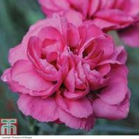 Dianthus Scents of Summer Pink Peony - 5 dianthus Postiplug plants