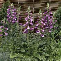 Foxglove Dalmatian Purple F1 Hybrid - 1 packet (12 foxglove seeds)