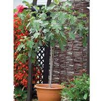 Fig Brown Turkey Standard - 1 x 5 litre potted fig plant