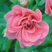 Geranium Pink Sybil - 5 geranium jumbo plug plants