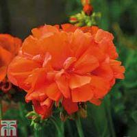 Geranium Shocking Orange - 5 geranium plug plants