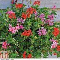Geranium Supreme Mixed (Pre-Planted Basket) - 2 x geranium pre-planted baskets + 200g pack of incredibloom®