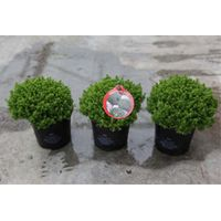 Hebe Emerald Green (Large Plant) - 2 x 10.5cm potted hebe plants