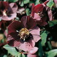 Hellebore (Purple-flowered Christmas Rose) - 1 packet (30 hellebore seeds)