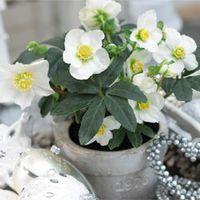 Hellebore Christmas Carol - 1 x 12cm potted hellebore plant