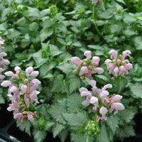 Lamium maculatum Pink Pewter (Large Plant) - 1 x 1 litre potted lamium plant