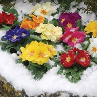 Lucky Dip Winter Bedding Mix - 24 lucky dip plug plants