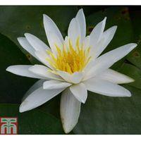 Nymphaea alba (Deep Water Aquatic) - 1 x 1 litre potted nymphaea plant