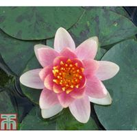 Nymphaea Aurora (Deep Water Aquatic) - 1 x 2 litre potted nymphaea plant