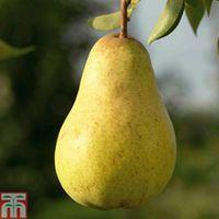 Pear Williams Bon Chretien - 1 root wrap pear tree