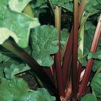 Rhubarb Giant Grooveless Crimson (Spring/Autumn Planting) - 1 x 9cm potted rhubarb plant